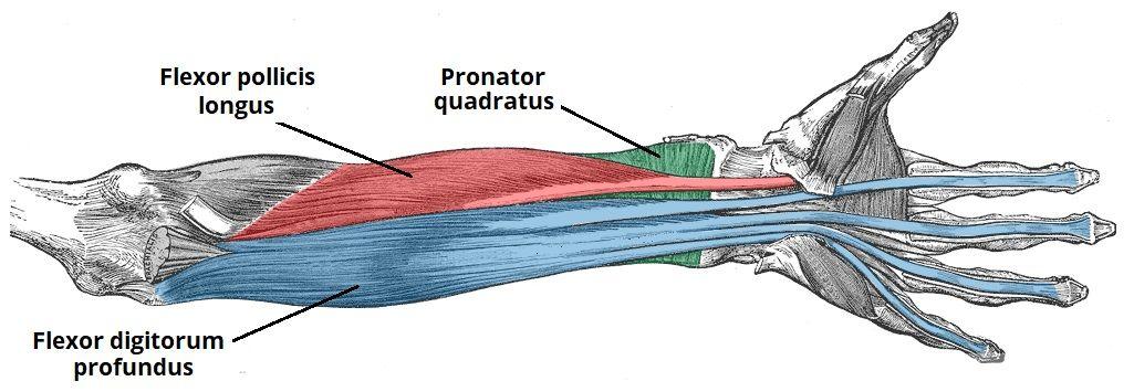 Ön Kol Kasları Anatomisi
