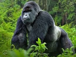 gorilla-in-the-jungle