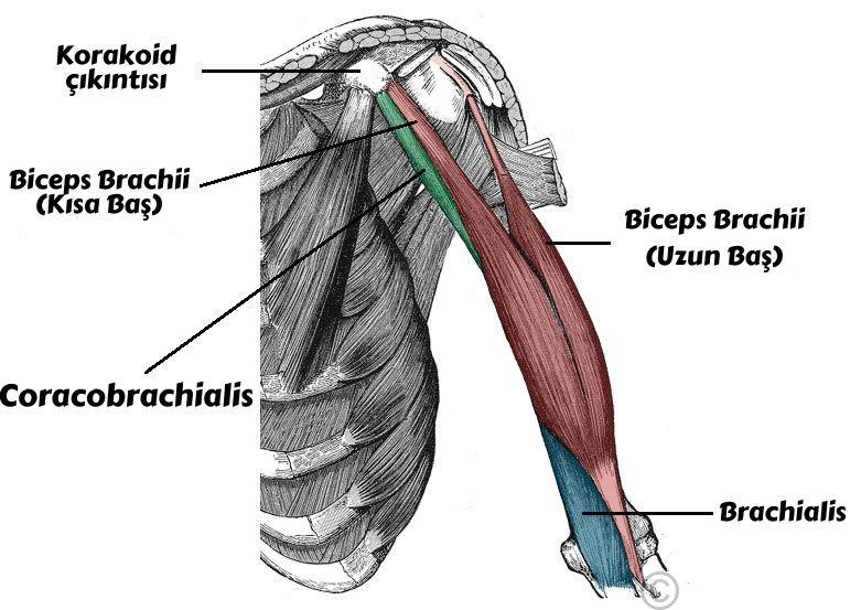 Üst Kol Anatomisi